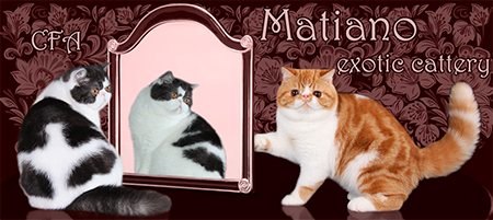 Matiano cattery - Persian and Exotic